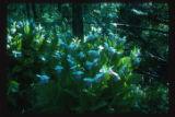 Minnesota Sate flower, Itasca Biological Station