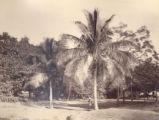 Image for Coconut Palms, Madras