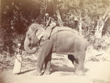 Image for Ceylon Elephant