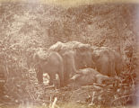 Image for Wild elephants in the forest