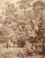 Image for Cinnamon trees