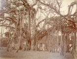 Image for Banyan tree